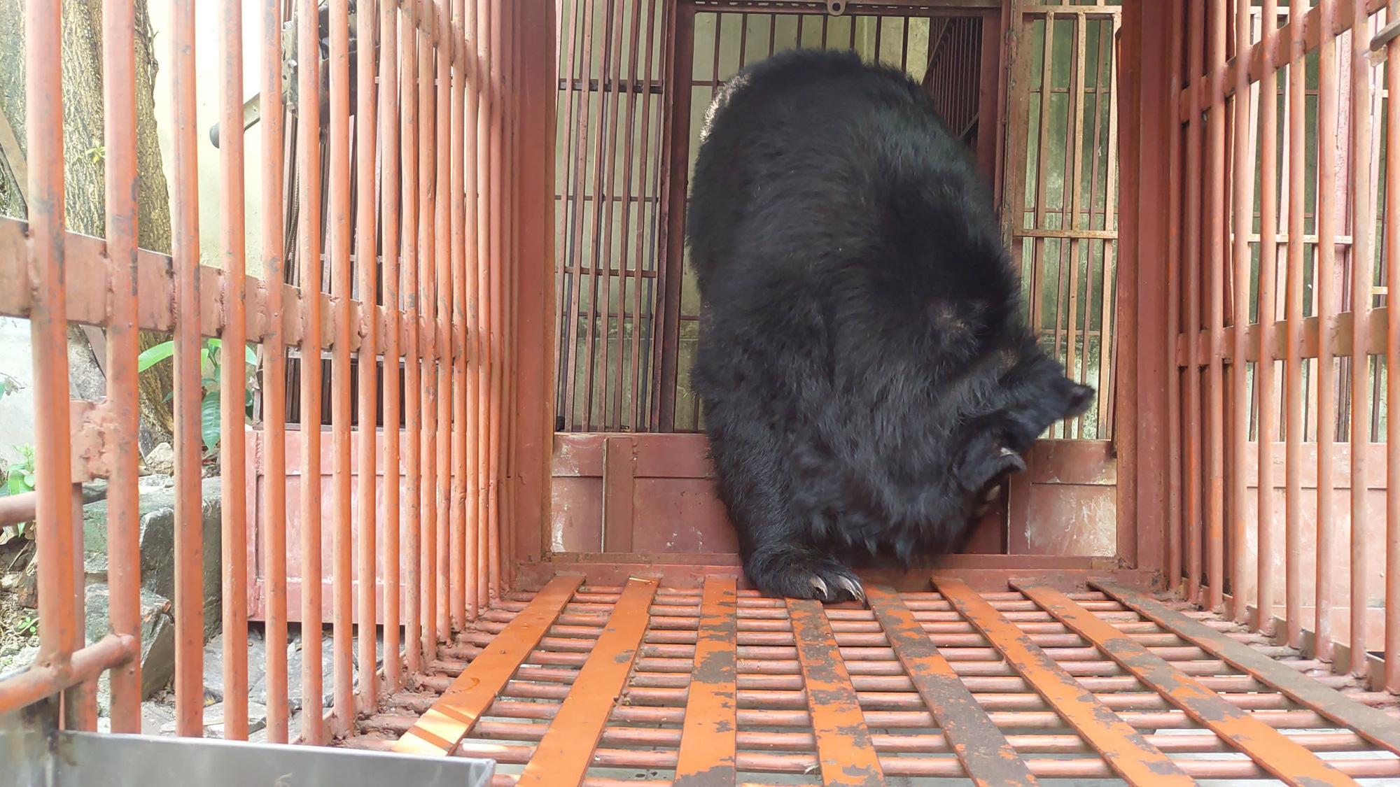 Trường Xiếc Hà Nội chuyển giao một cá thể gấu ngựa cho Tổ chức Động vật châu Á - Ảnh 2.
