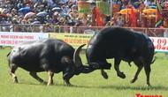 Bộ Văn hóa, Thể thao và Du lịch không đồng ý với đề nghị bán vé tại Lễ hội chọi trâu Đồ Sơn