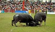 Bộ VHTTDL phê duyệt Kế hoạch tăng cường quản lý lễ hội Chọi trâu